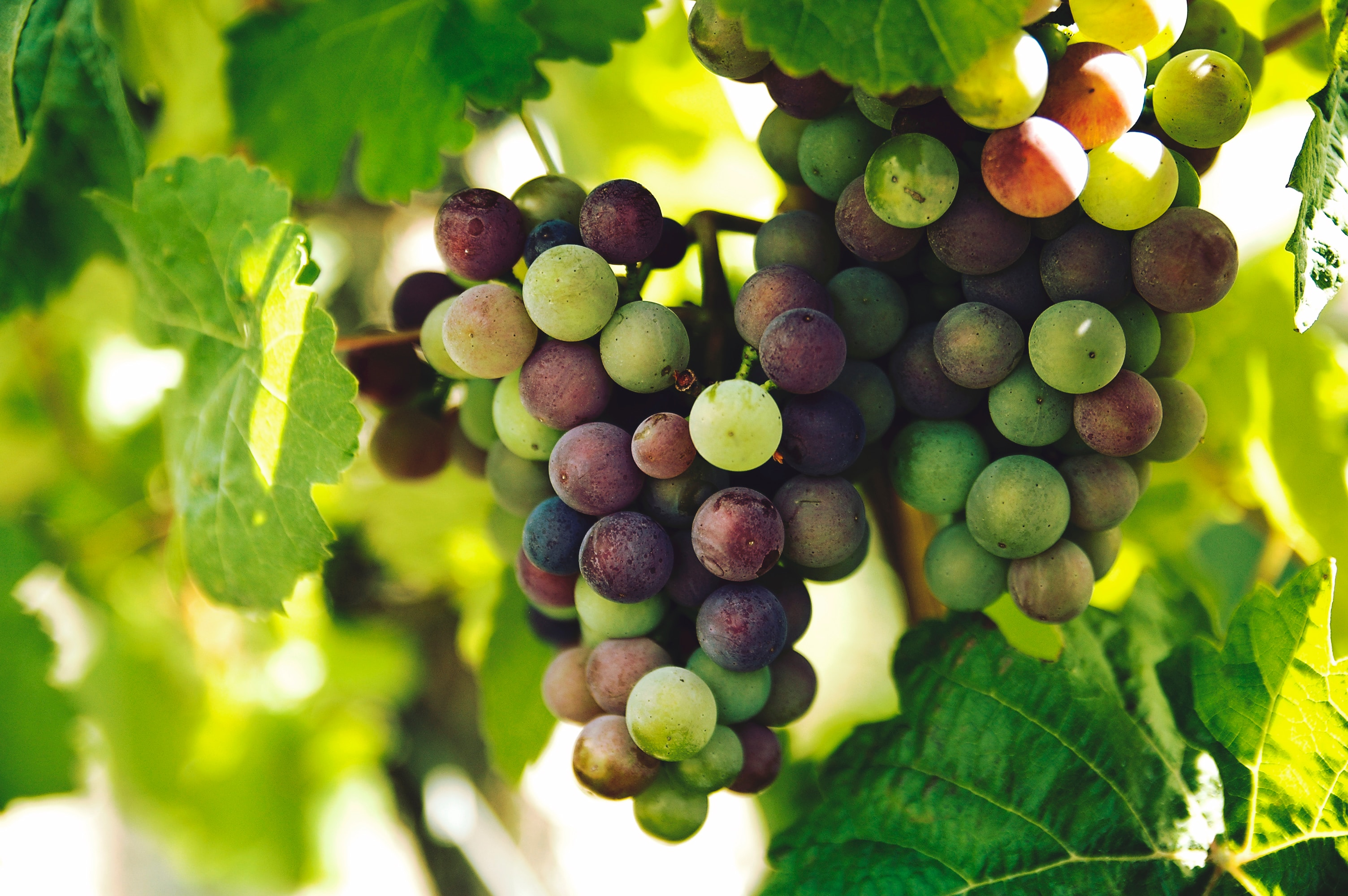 photo of a grapevine with grapes showing.