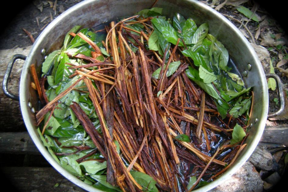 Picture of an Ayahuasca plant ready to be cooked